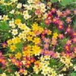 Семена бордюрных цветов