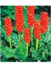 Арум италикум (Arum italicum)