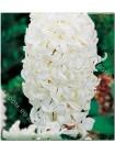 Гиацинт Мадам Софи (Hyacinthus Madame Sophie)