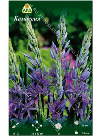 Камассия (Camassia leichtlinii 'Caerulea')