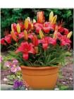 Лилия Базер (Lilium asiatic pot Buzeer)