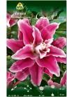 Лилия Свит Рози (Lilium oriental Sweet Rosy)