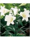 Лилия Уайт Хэвен (Lilium longiflorum White Heaven)