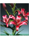 Лилия Цигалон (Lilium LA Cigalon)