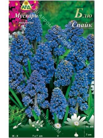 Мускари махровые Блю Спайк (Muscari armeniacum Blue Spike)