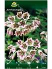 Нектароскордум (Nectaroscordum siculum ssp bulgaricum)