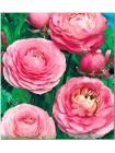 Ранункулюс махровый Розовый (Ranunculus asiatic )