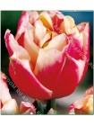 Тюльпан Вироза (Tulipa Wirosa)