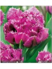 Тюльпан Матчпоинт (Tulipa Matchpoint)