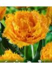 Тюльпан Мон Амур (Tulipa Mon Amour)