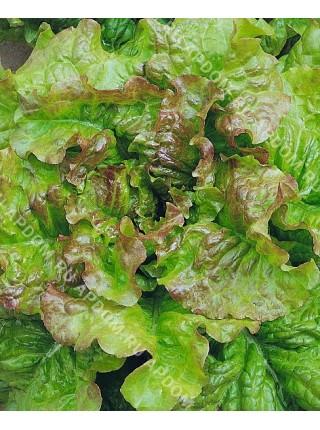 Салат листовой Американский коричневый