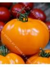 Томат Оранжевый Статус F1 (Lycopersicon esculentum)