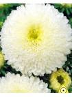 Астра китайская Принцесса белая (Callistephus chinensis)