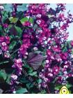 Долихос пурпурный (Гиацинтовые Бобы) (Dolichos lablab)